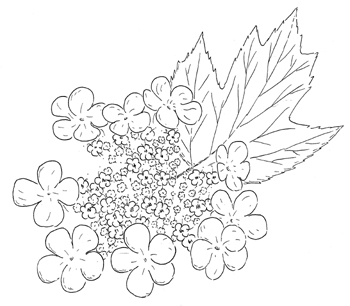 American Cranberry Bush Drawing