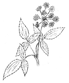 Golden Alexanders  Drawing