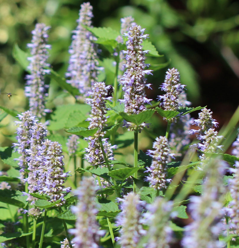Blue Giant Hyssop Picture