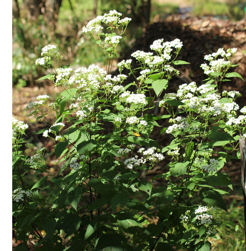 White Snakeroot Picture