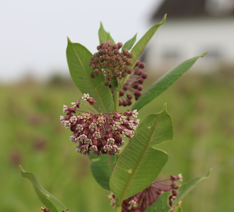 Common Milkweed Picture