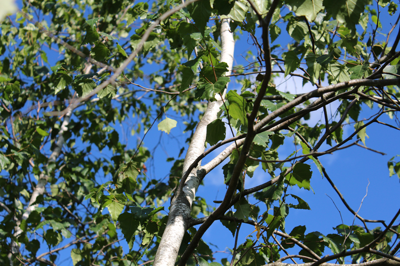 Gray Birch Picture