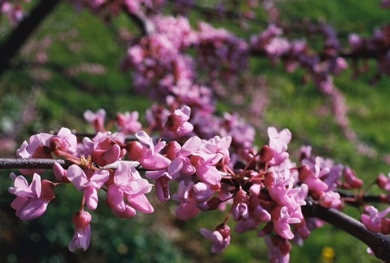 Eastern Redbud Picture
