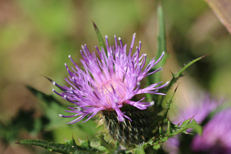 Pasture Thistle Picture