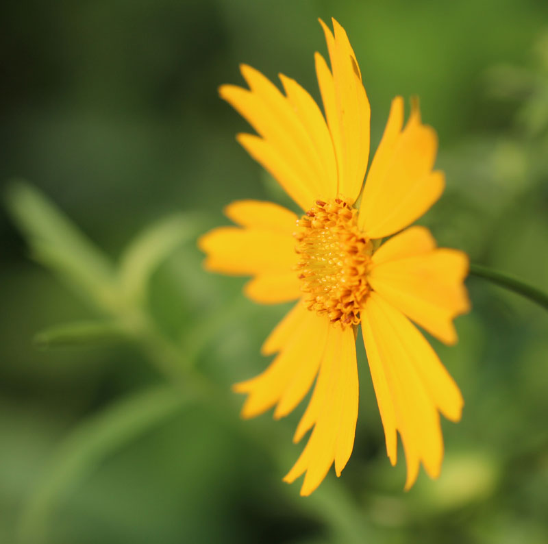 Largeflower Coreopsis Picture