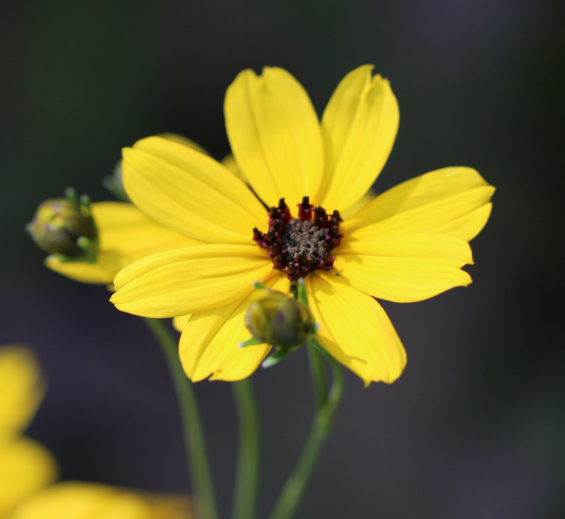Tall Coreopsis Picture