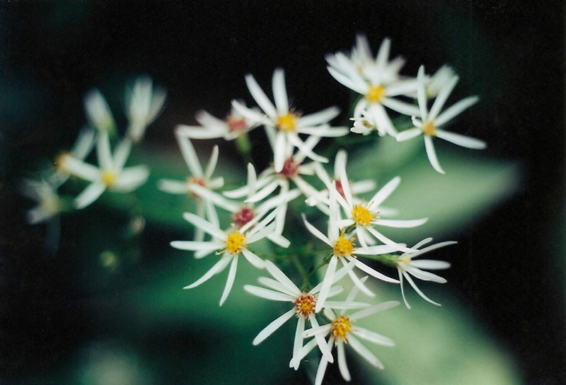 White Wood Aster Picture