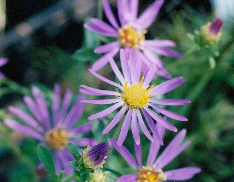 Eastern Showy Aster Picture