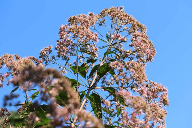 Hollow Joe-Pye-Weed Picture
