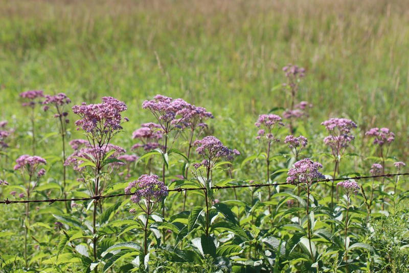 Spotted Joe-Pye-Weed Picture