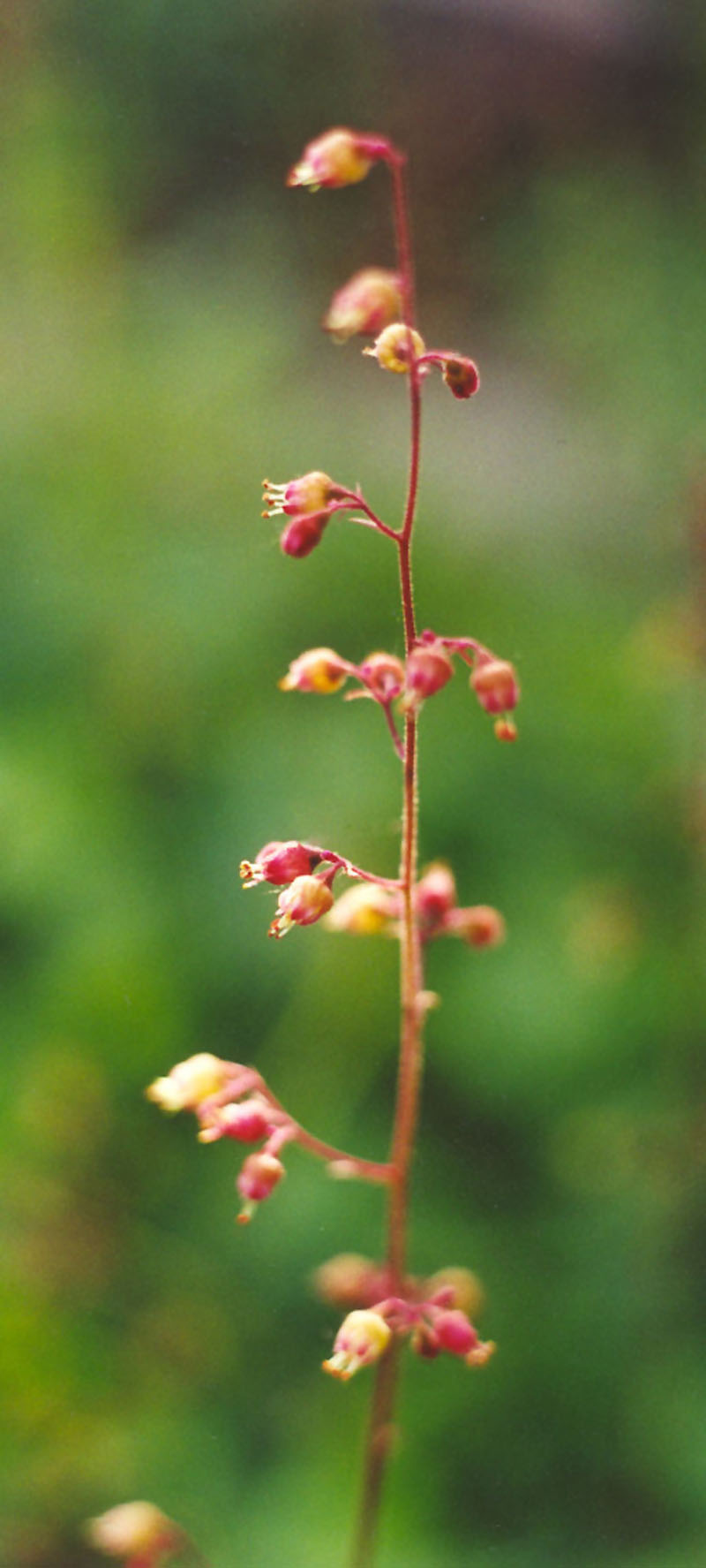 American Alumroot Picture