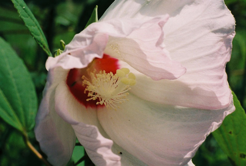 Crimson-eyed Rose-Mallow Picture