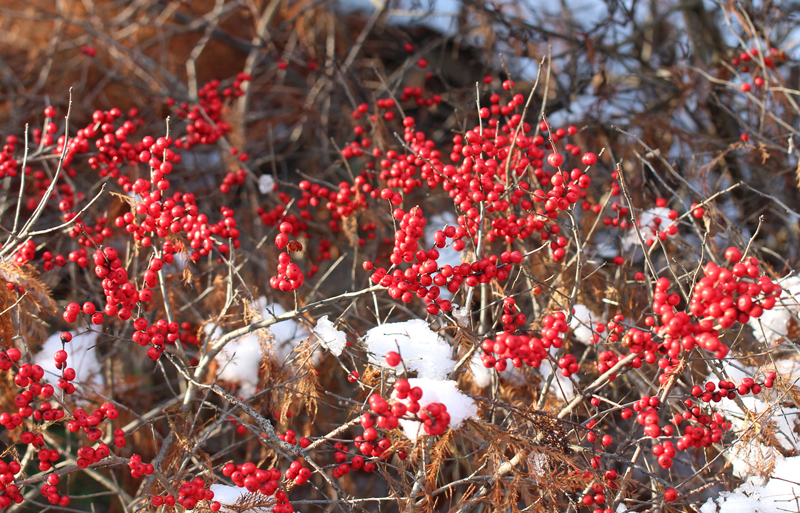 Winterberry Holly Picture