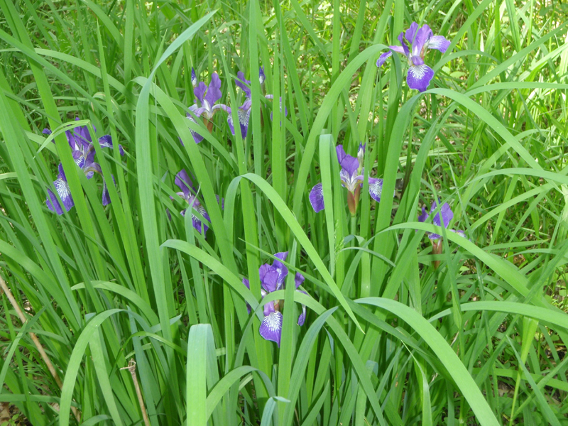 Northern Blue Flag Iris Picture