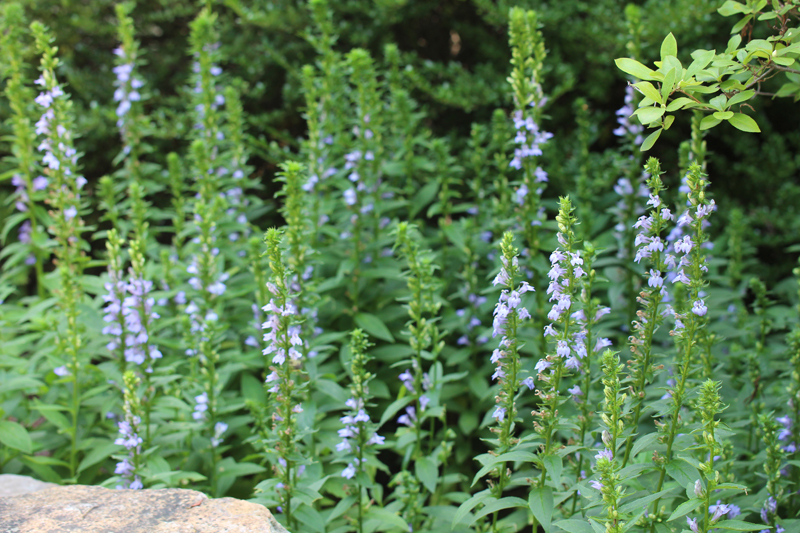 Lobelia Siphilitica Great Blue Lobelia At Toadshade Wildflower Farm