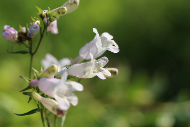 Eastern Smooth Beardtongue Picture
