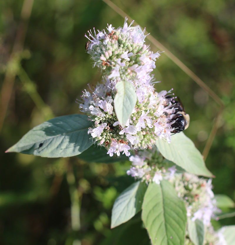 Hoary Mountainmint Picture