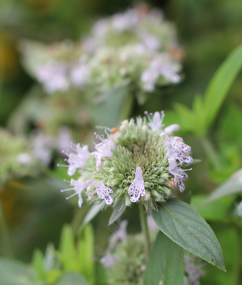Southern Mountain Mint Picture