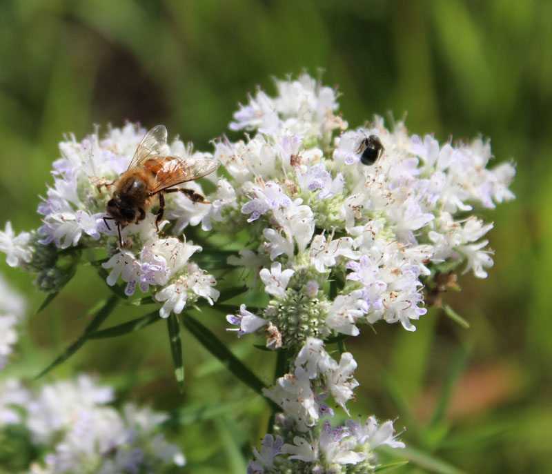 Slender Mountain Mint Picture