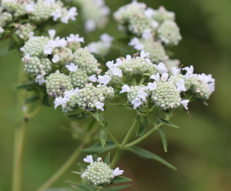 Whorled Mountainmint Picture