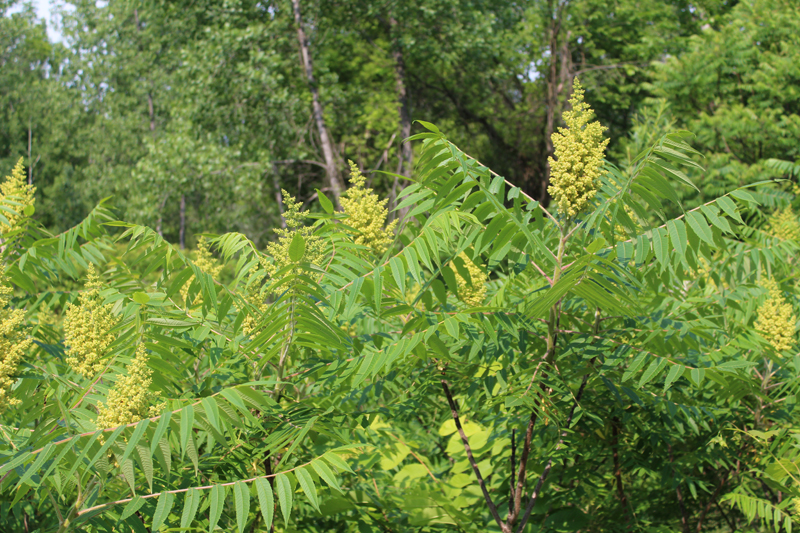 Staghorn Sumac Picture