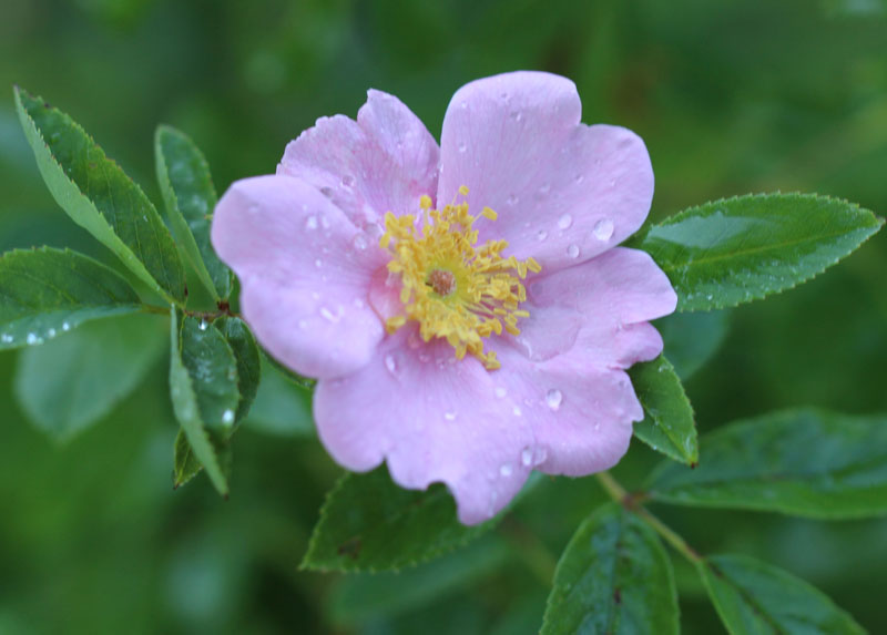 Swamp Rose Picture