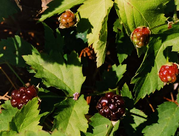 Northern Dewberry Picture