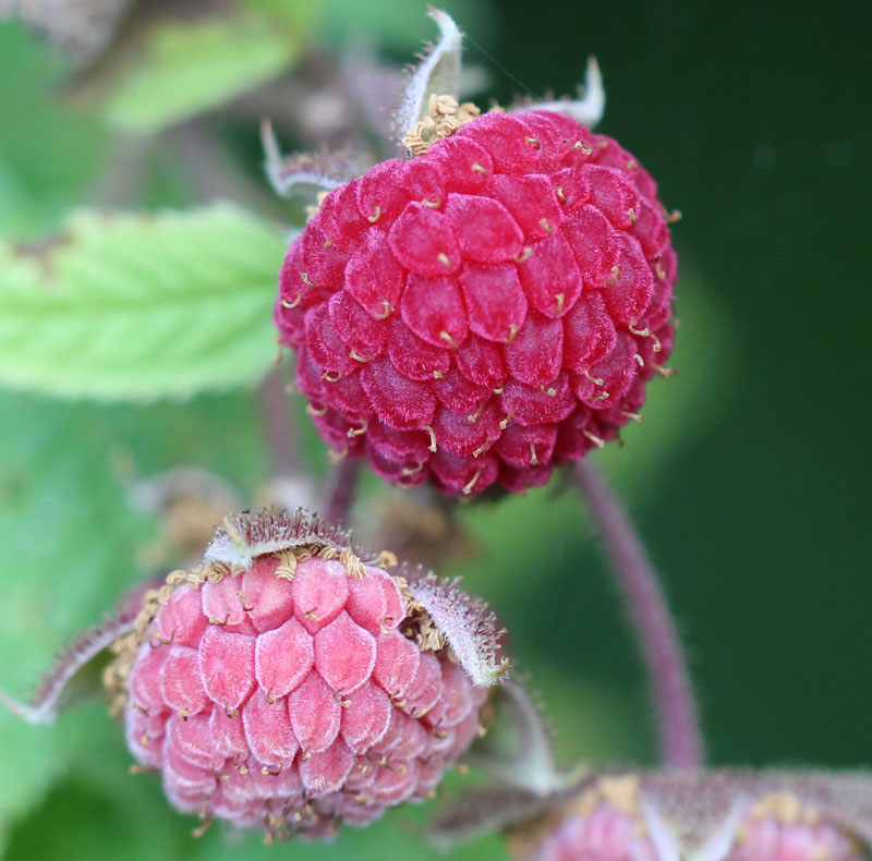 American Red Raspberry Picture