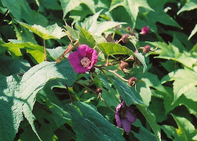 Purple Flowering Raspberry Picture