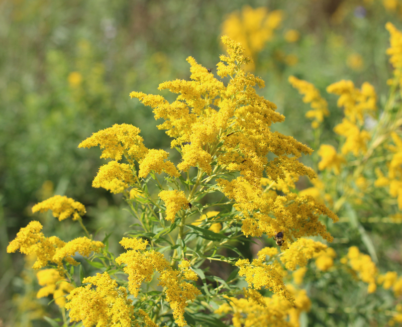 Late Goldenrod Picture