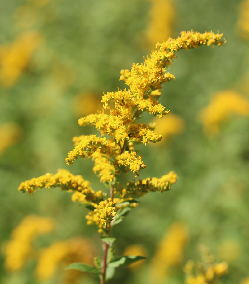 Rough-Stemmed Goldenrod Picture