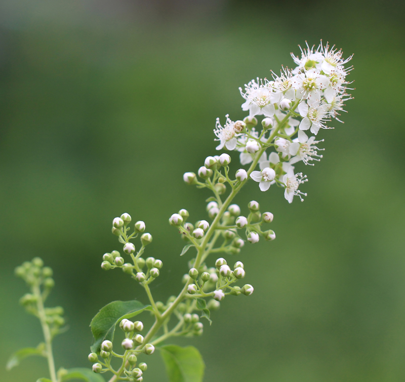 White Meadowsweet Picture