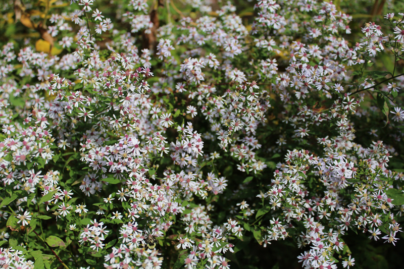 Heart-leaved Aster Picture