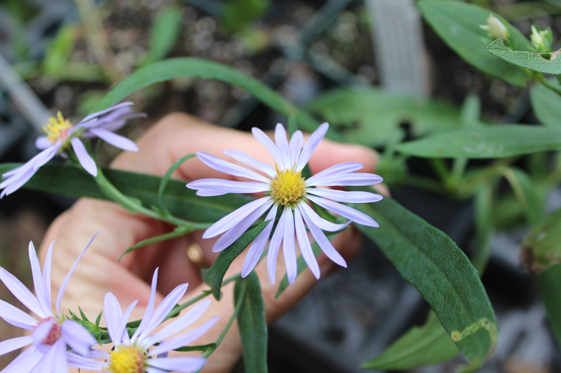 Smooth Blue Aster Picture