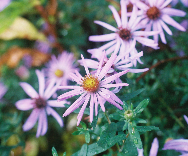 Aromatic Aster Picture