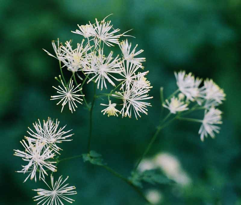 Tall Meadow Rue Picture