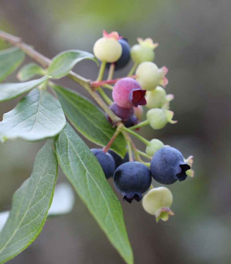 Highbush Blueberry Picture