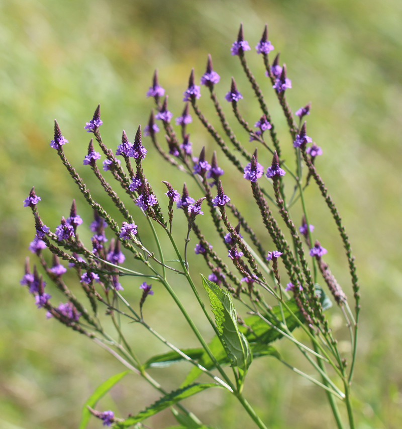 Blue Vervain Picture