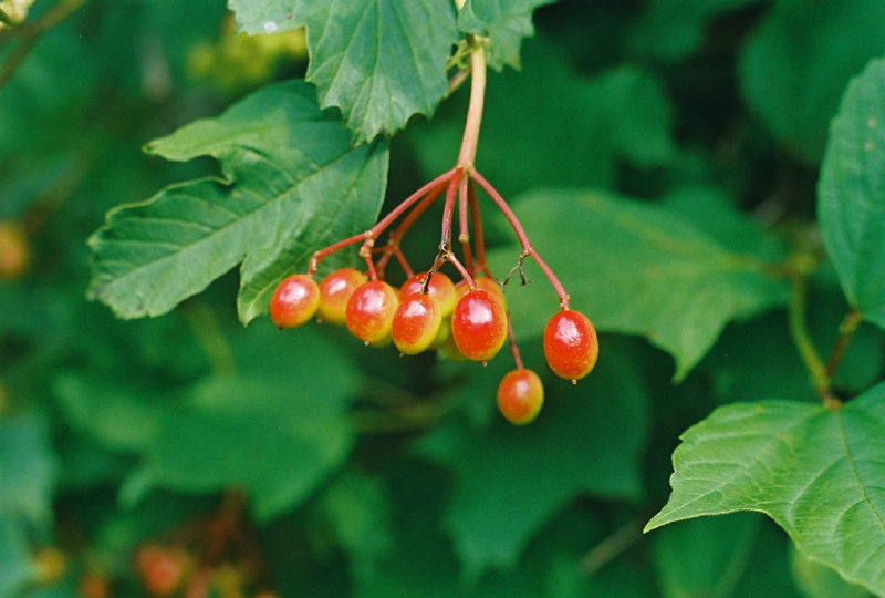 American Cranberry Bush Picture