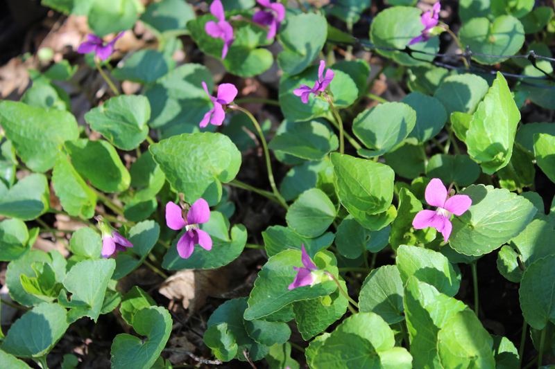 Buck's County Magenta Violet Picture