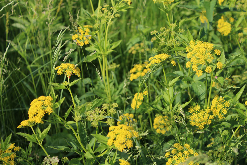 Golden Alexanders  Picture